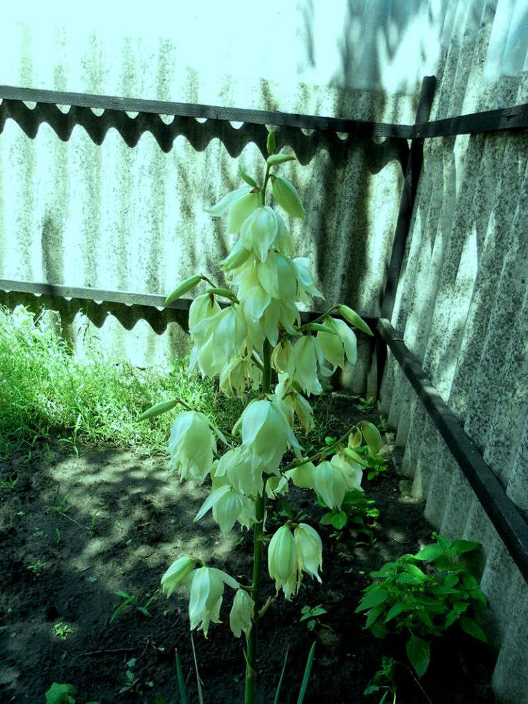 Садовая юкка