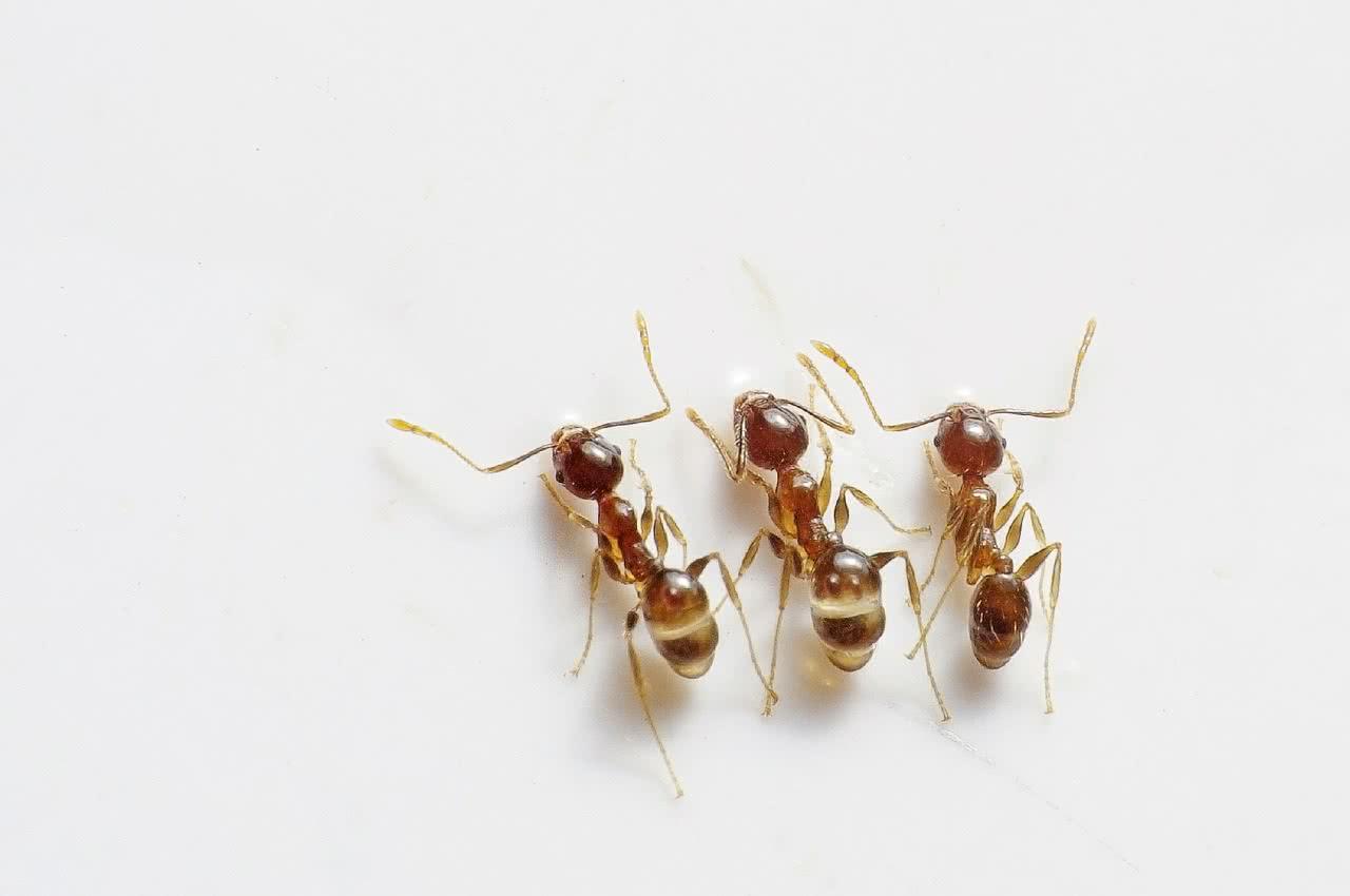 как избавиться от домашних рыжих муравьев