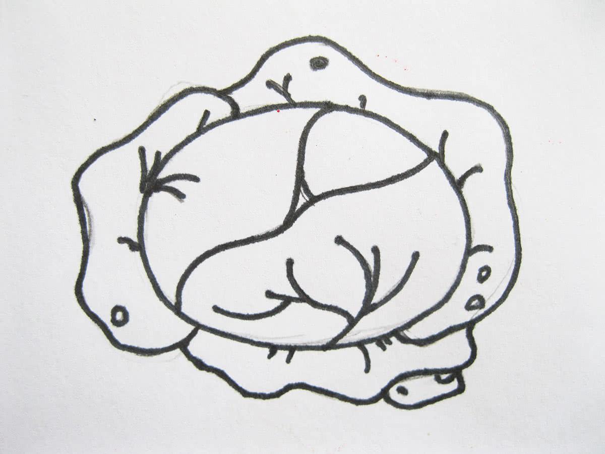 Как нарисовать капусту шаг 6