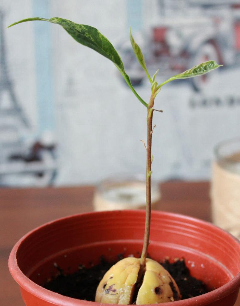 Как сажать косточку авокадо фото