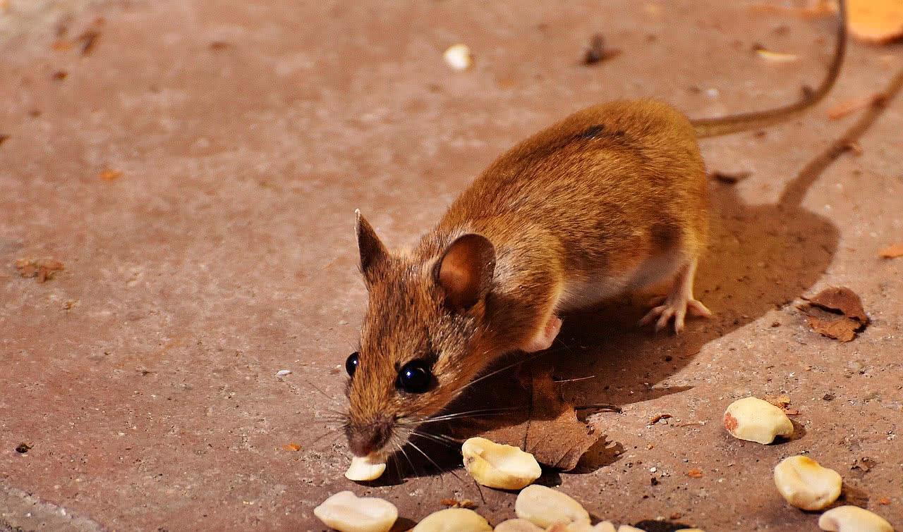 Как бороться с мышами в квартире