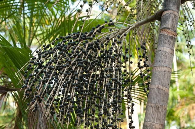 Пальма асаизейро